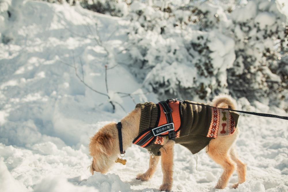 pet dog sniffing snow
