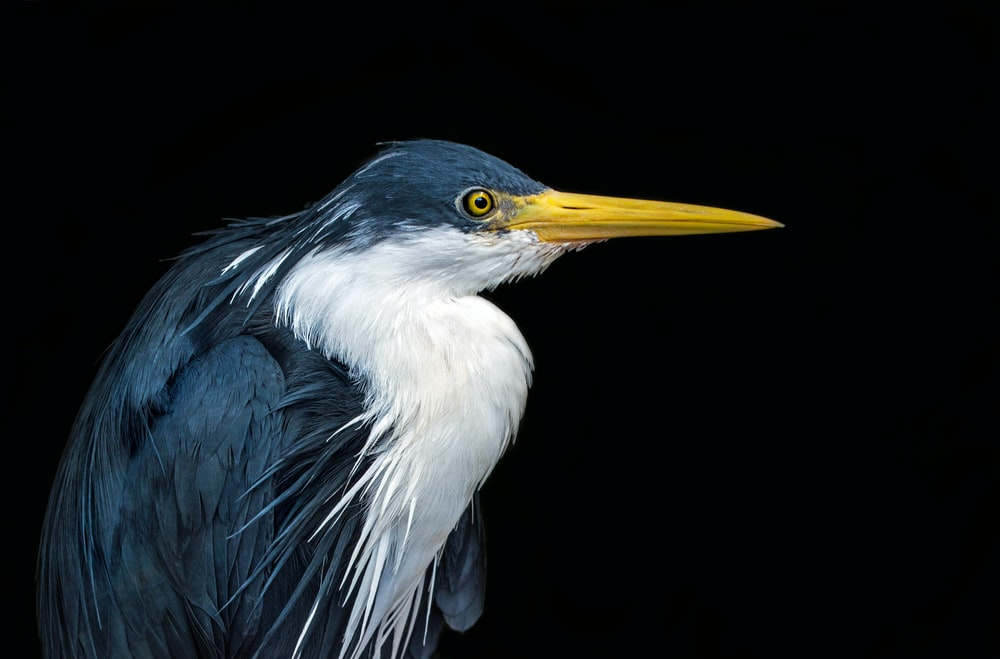 blue and white great egret