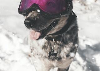 brown dog wearing ski goggles