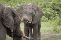 two elephants at the outdoor