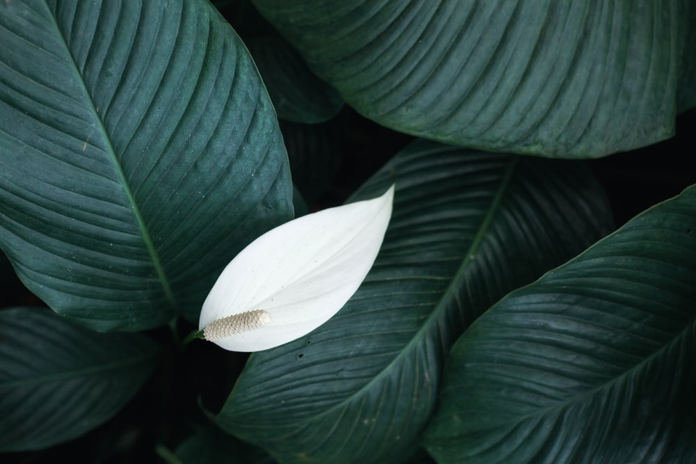 white peace lily flower
