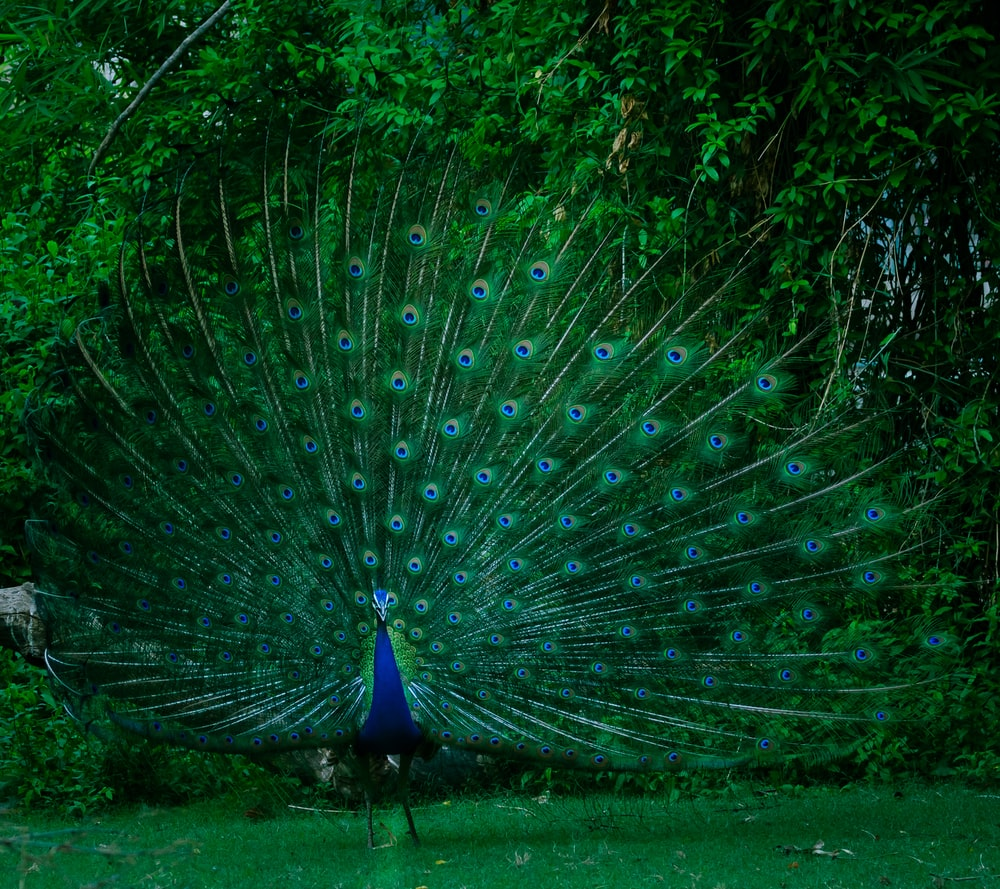 blue and green Peacock standing on grass