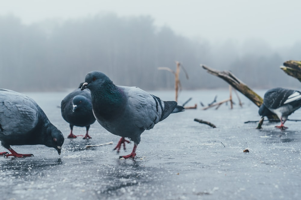 low-angle photography of four pigeons on road under rain