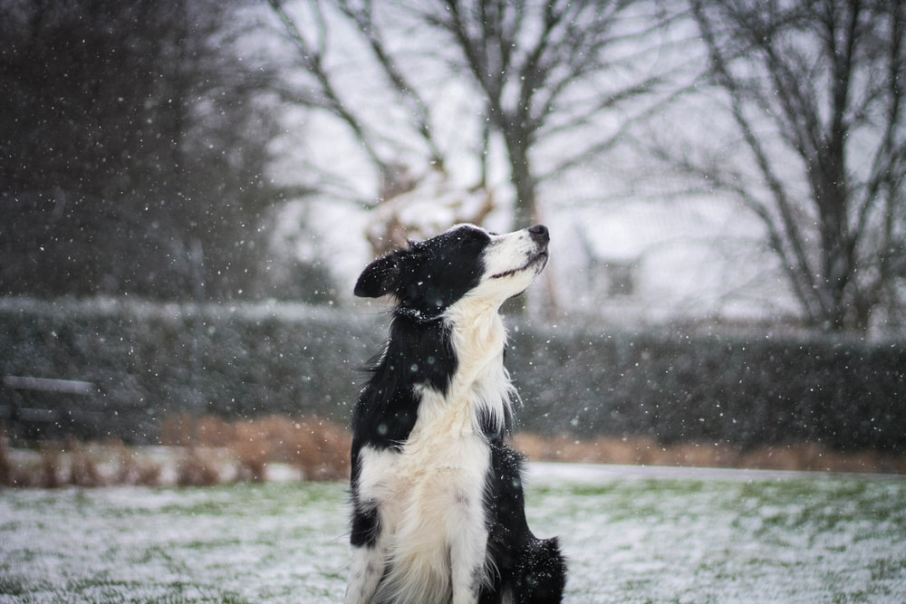 adult black and white border collie on focus photography