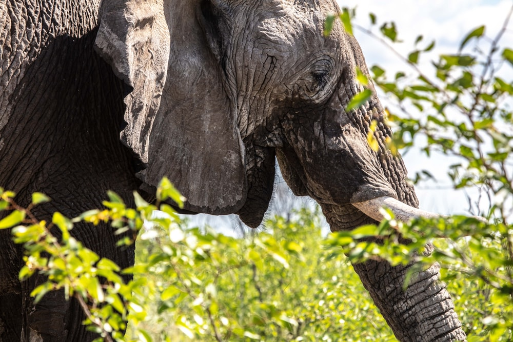 gray elephant on focus photography
