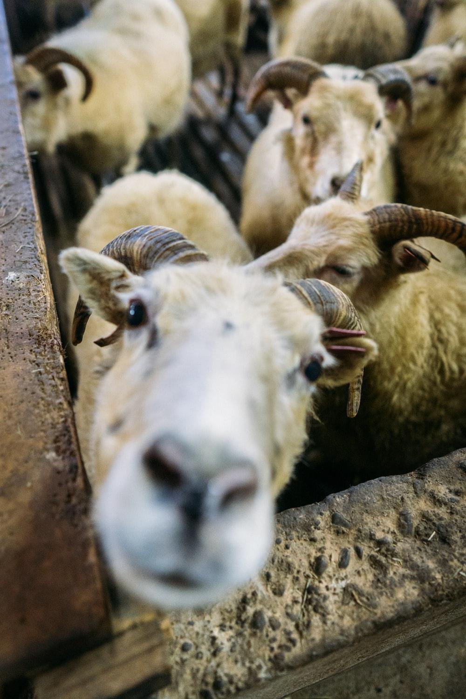 herd of sheep close-up photo