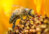 La butineuse affairée semble se délecter du nectar et n'a que faire du photographe qui gesticule maladroitement pour tenter de la faire rentrer dans le cadre.