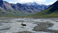 moose running on body of water near mountains during daytime