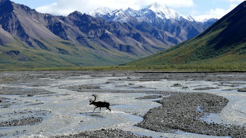 moose running on body of water near mountains during daytime