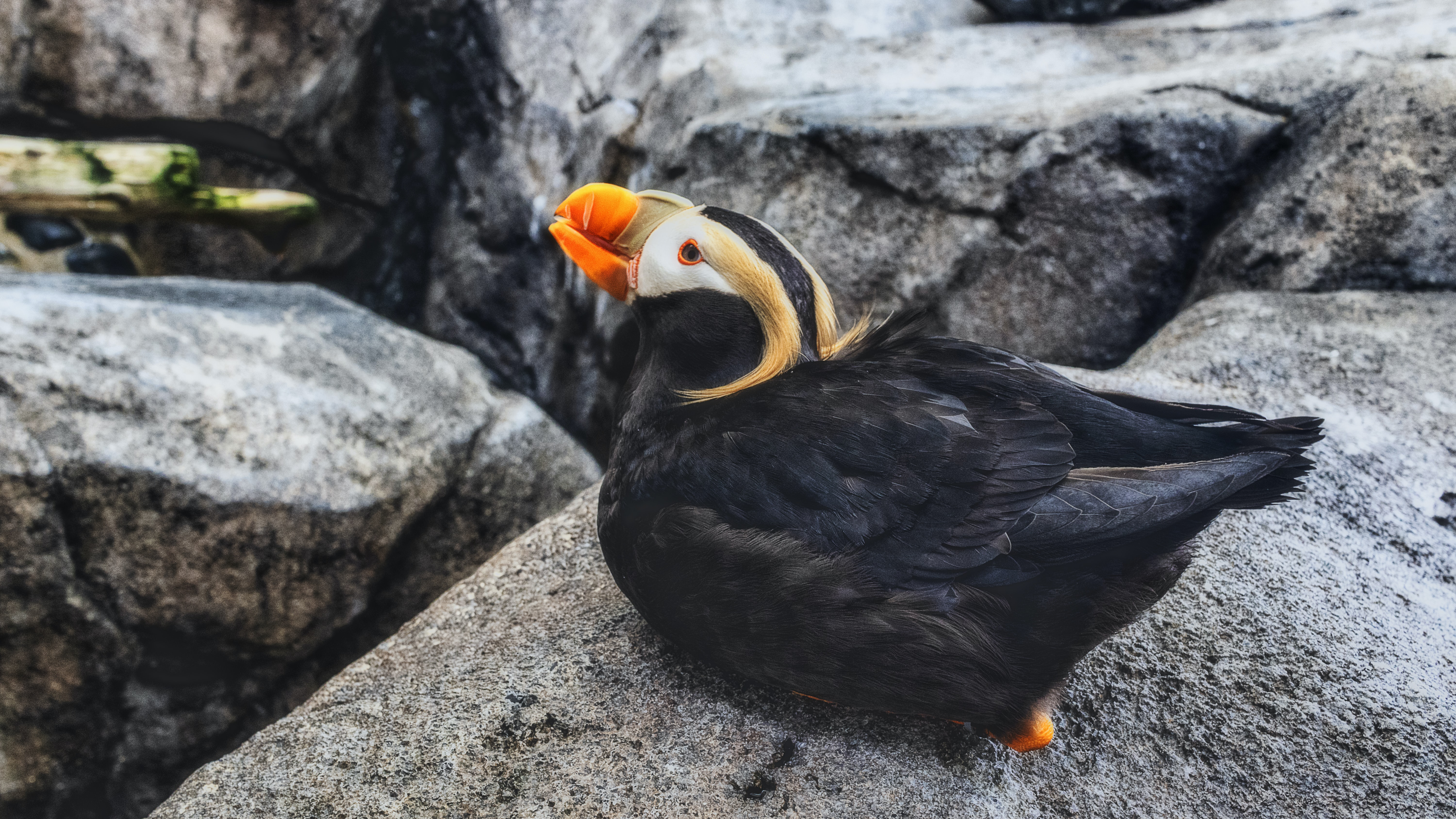 black and white puffin bird on rock