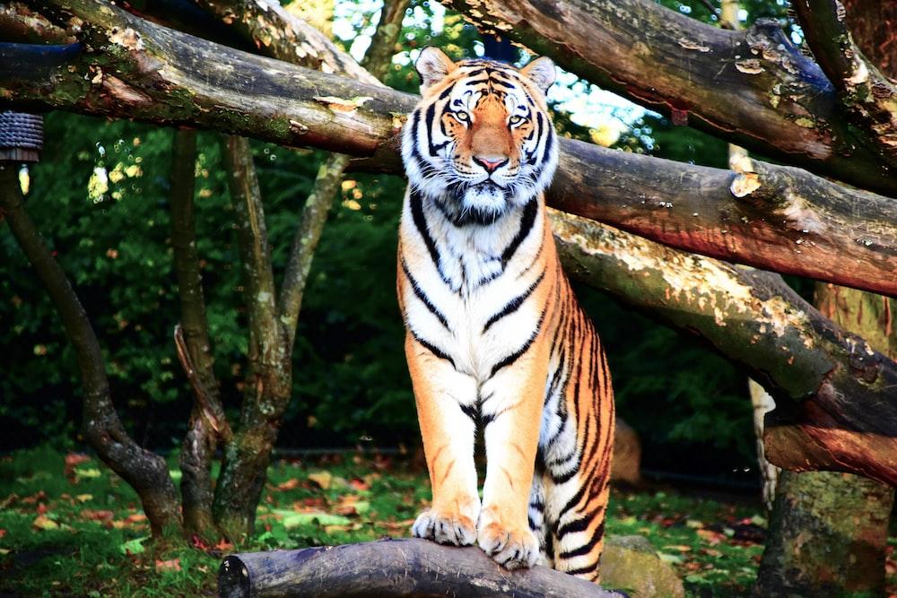 brown tiger standing near tree branch