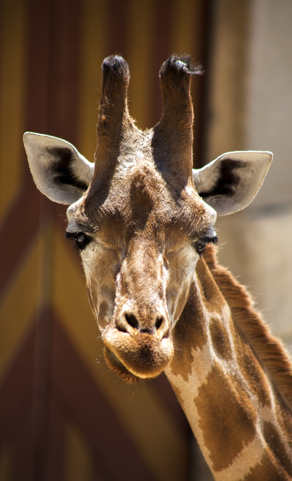 close-up photography of Giraffe during daytime