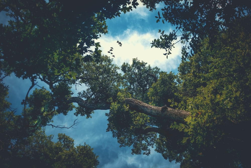 green tall trees under white and blue cloudy sky