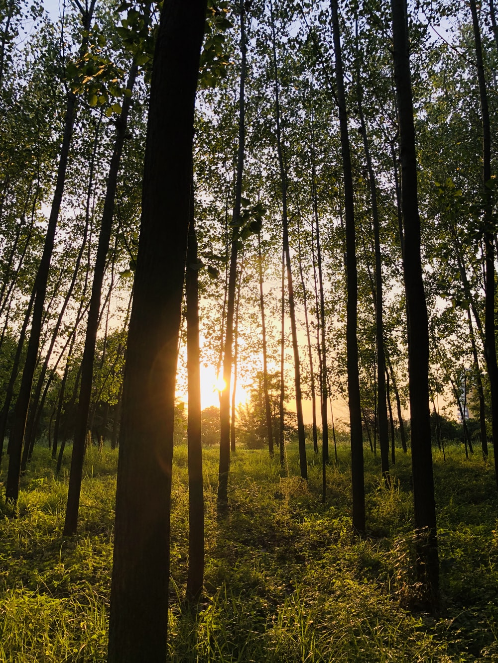 forest trees during golden hour