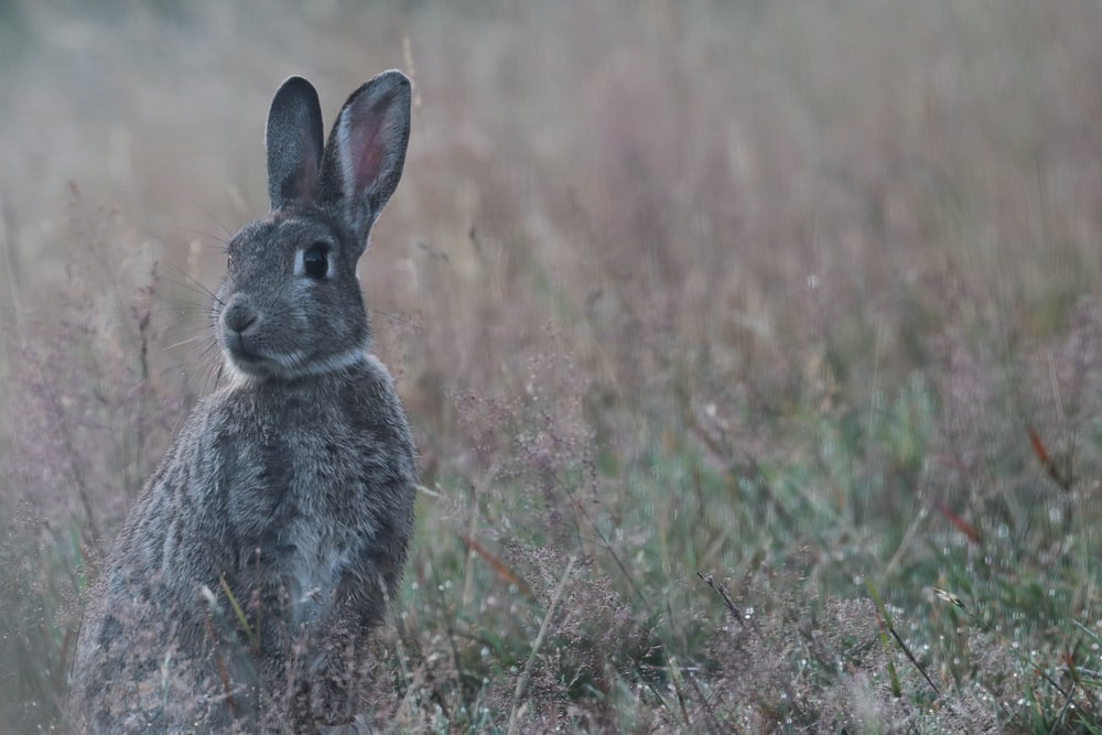 gray rabbit on green grass field