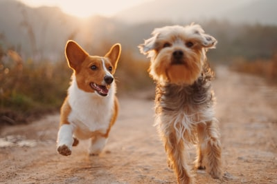 two brown and white dogs running dirt road during daytime pet teams background