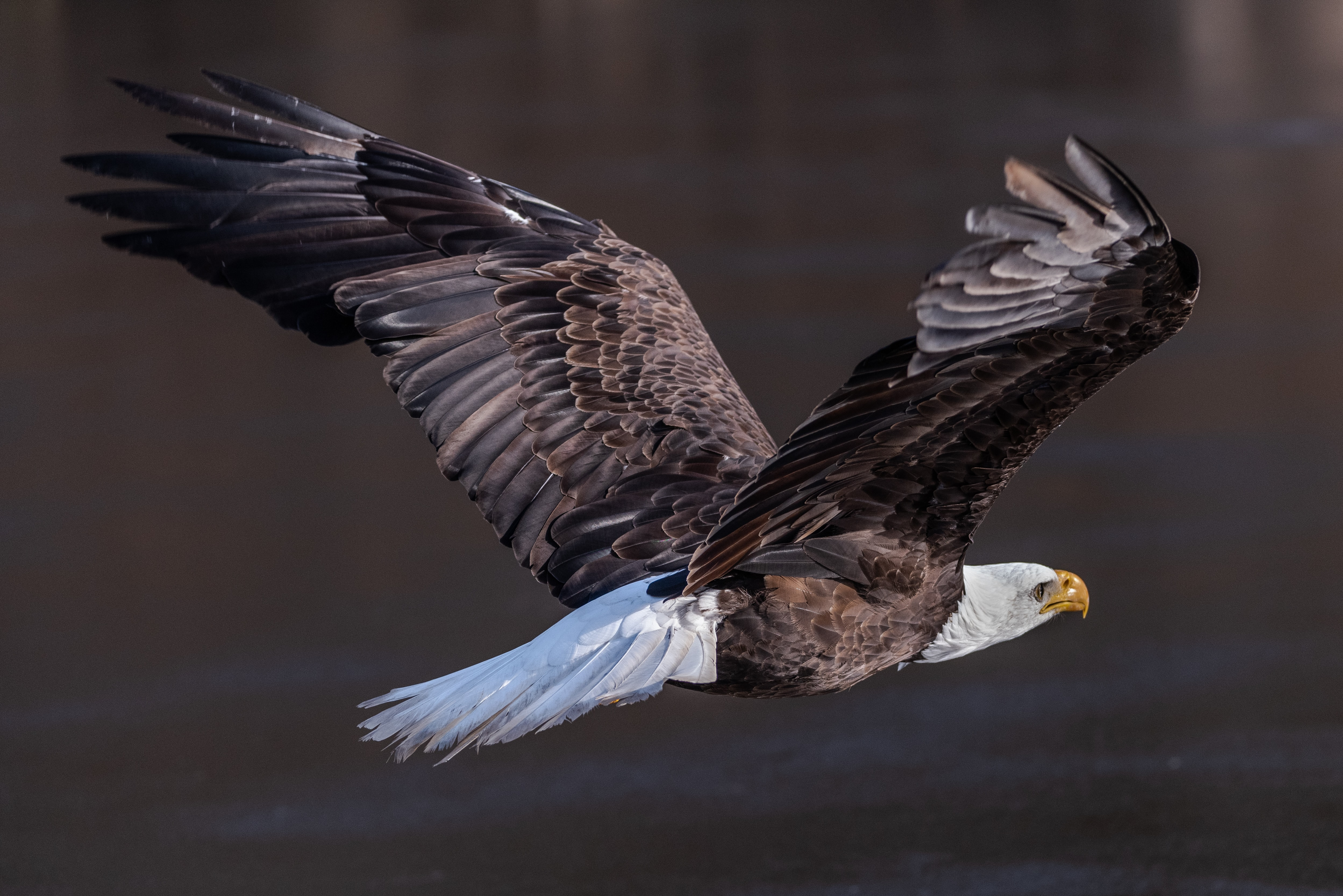 Bald Eagle above body of water