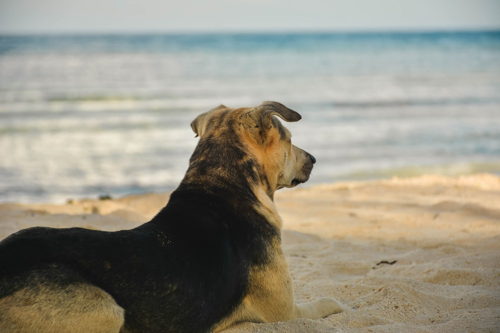 short-coated brown and black dog standing near shore during daytime