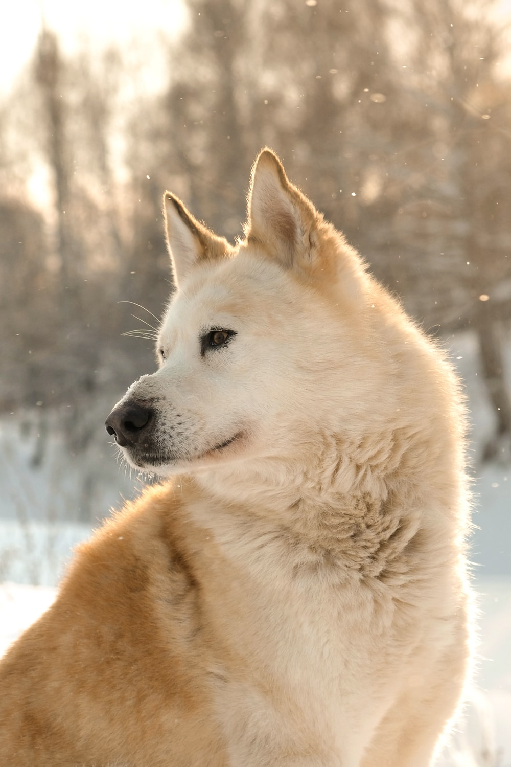 brown Dingo on snow covered surface