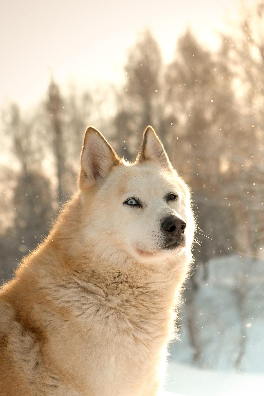 beige wolf