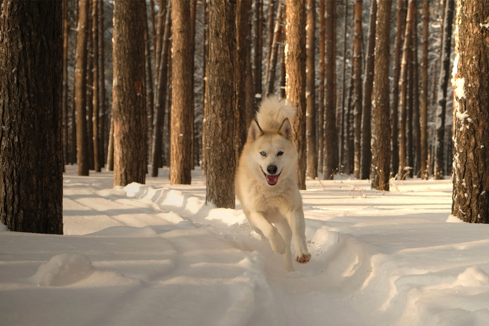 adult white Siberian husky on snow covered area