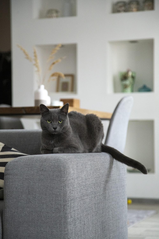 short-fur gray cat on gray fabric sofa chair