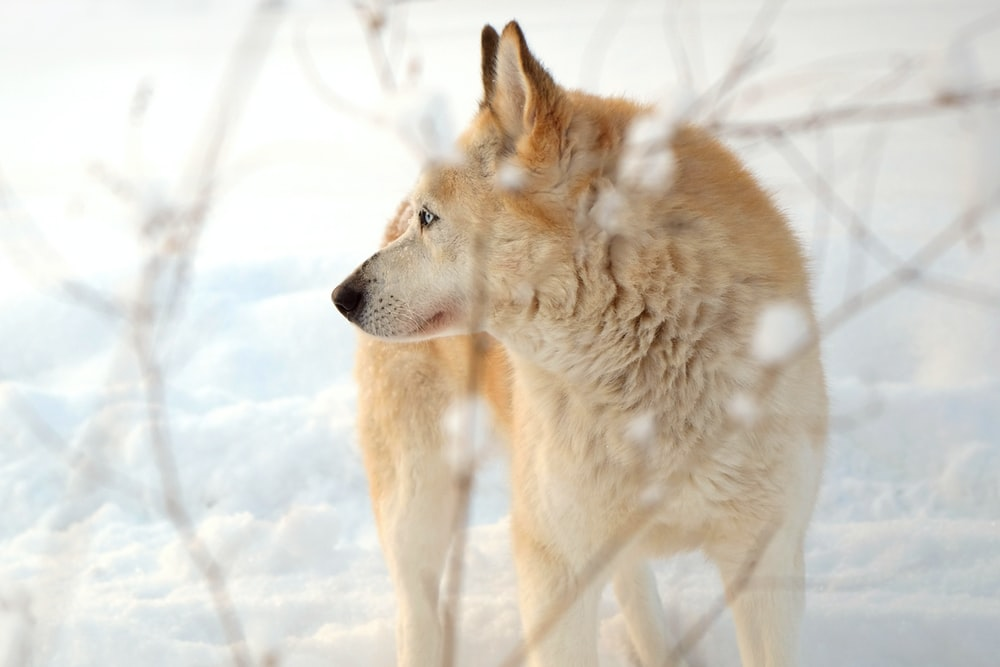 dingo on a snow covered road