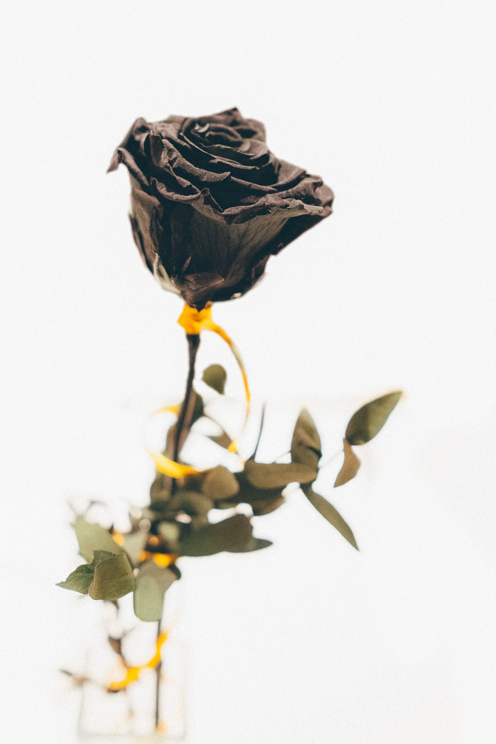 close-up photography of black rose