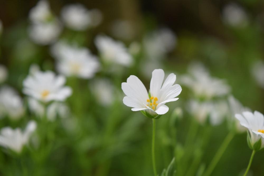 field of white petaled flower