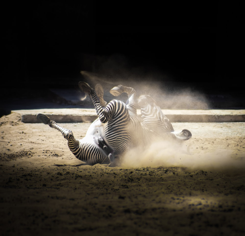 wildlife photography of lying zebra