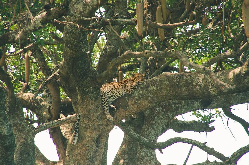 cheetah sleeping on tree during daytime
