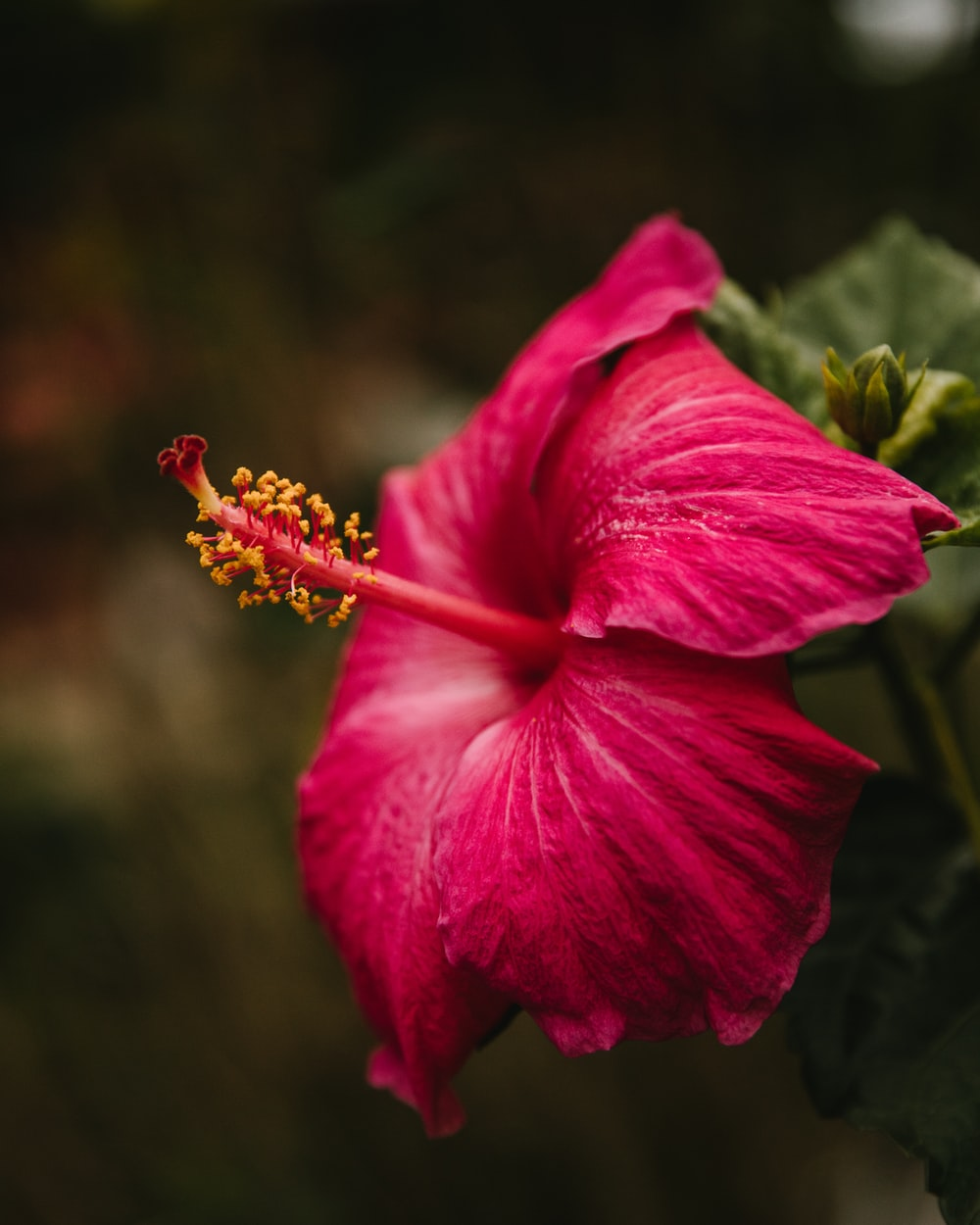 selective focus photography of red hibiscus flower