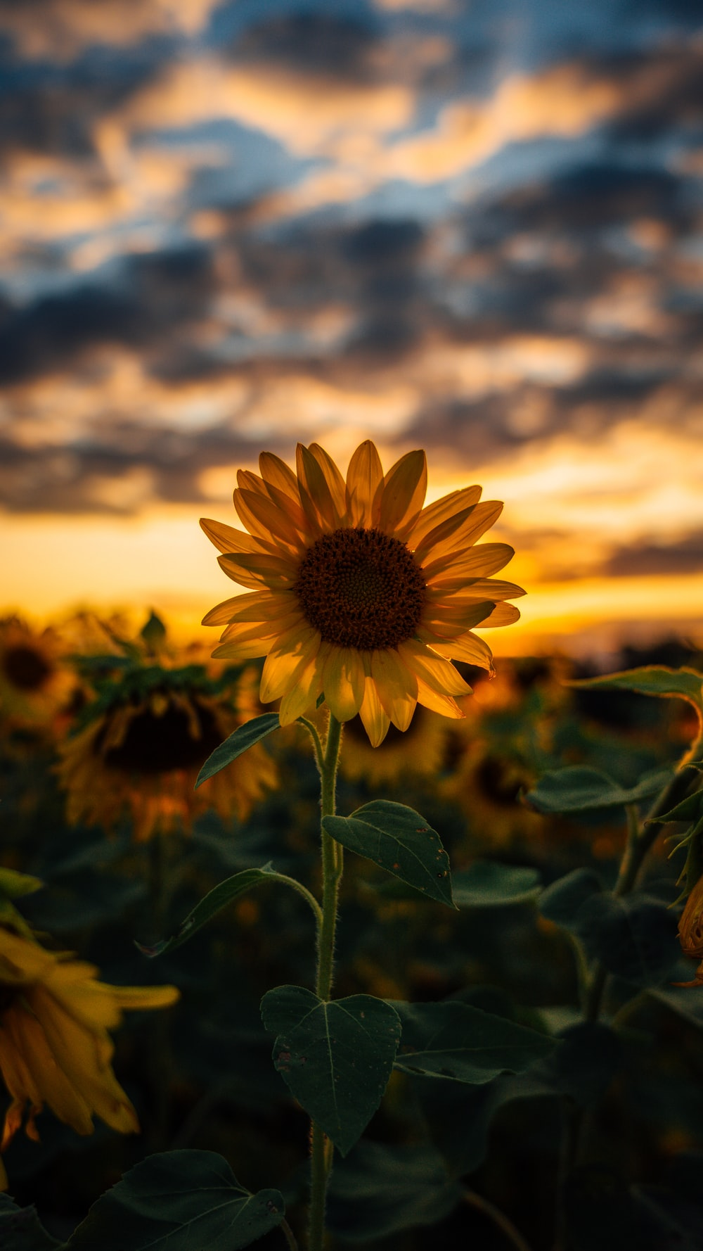 selective focus photography of yellow sunflower field during golden hour