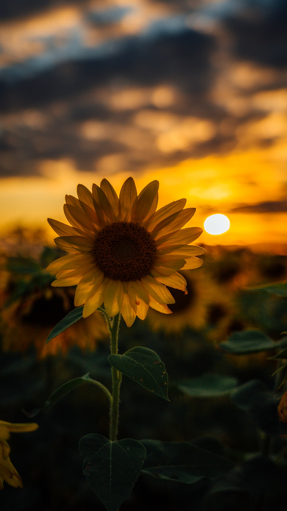 selective focus photography of sunflower during golden hour