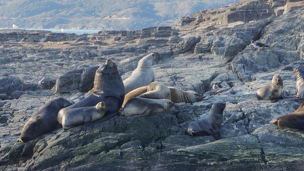 herd of sea lion