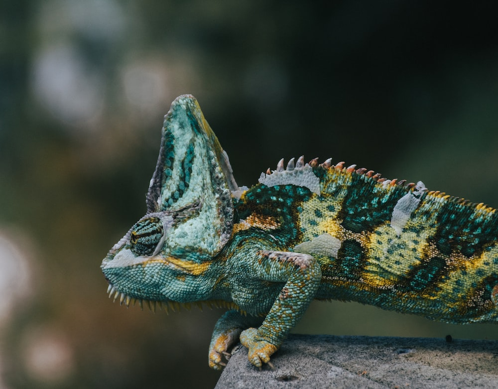 selective focus photography of green and yellow lizard