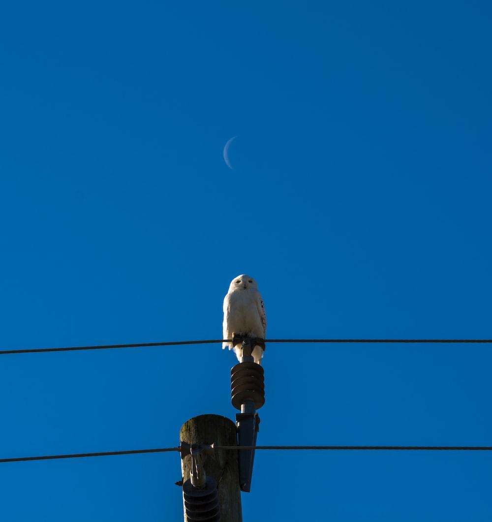 white owl perching on transmission line