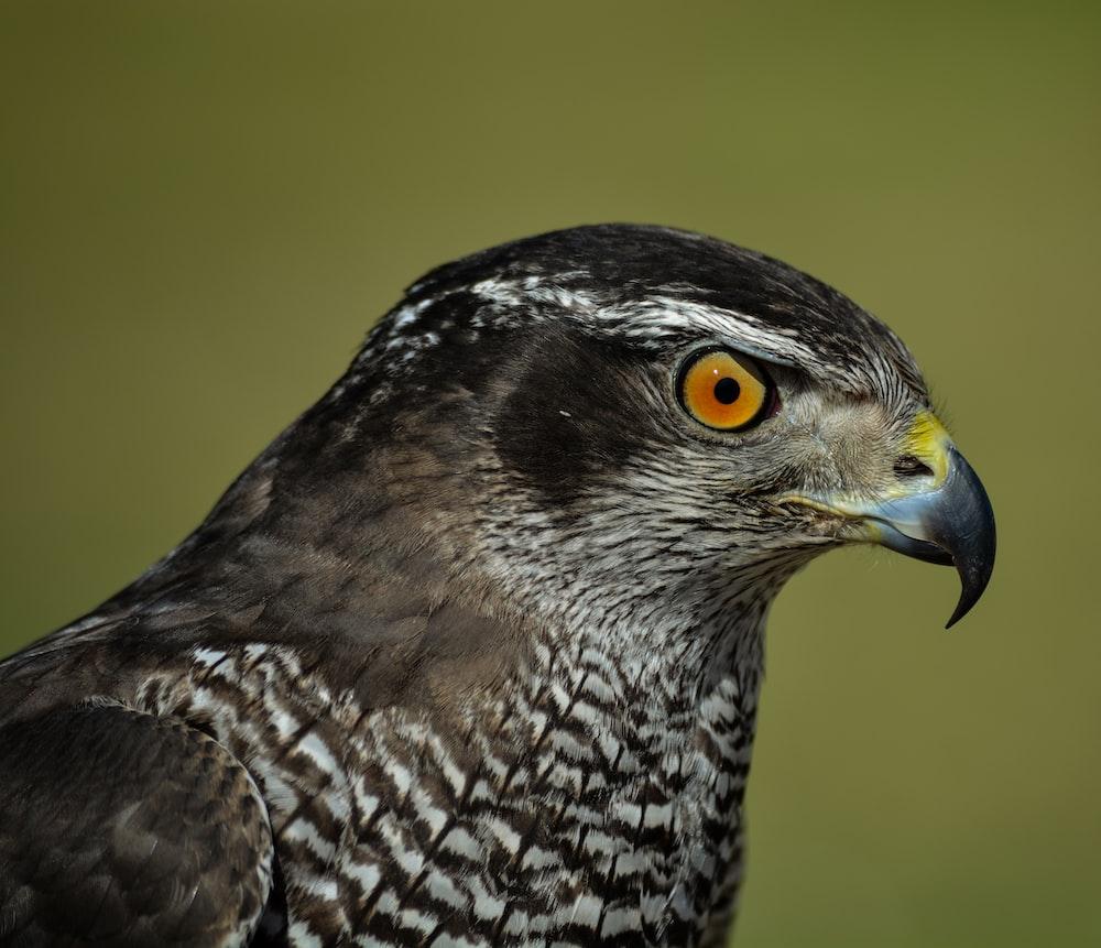 selective focus photography of falcon