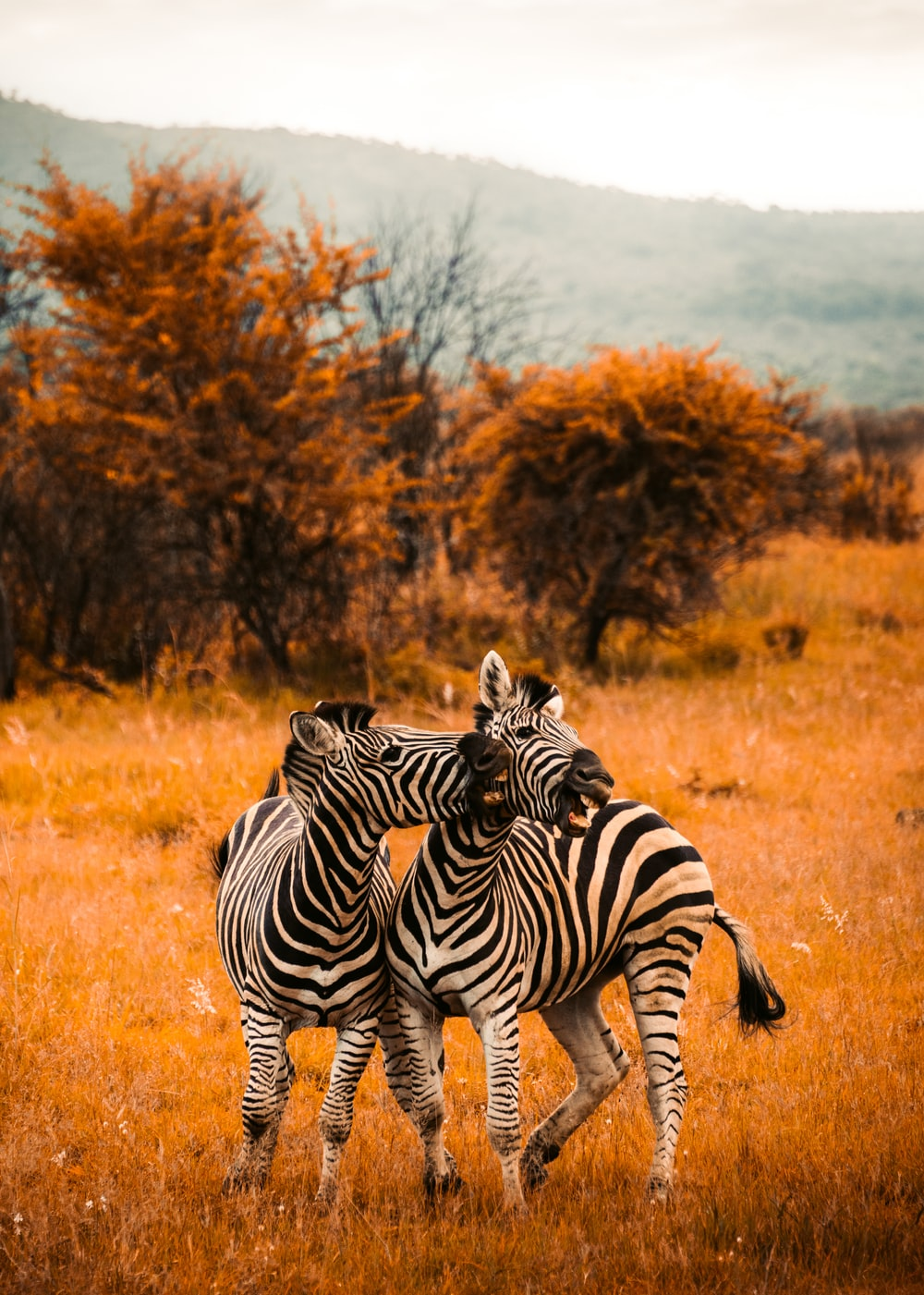 selective focus photography of zebras