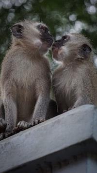 two white monkeys