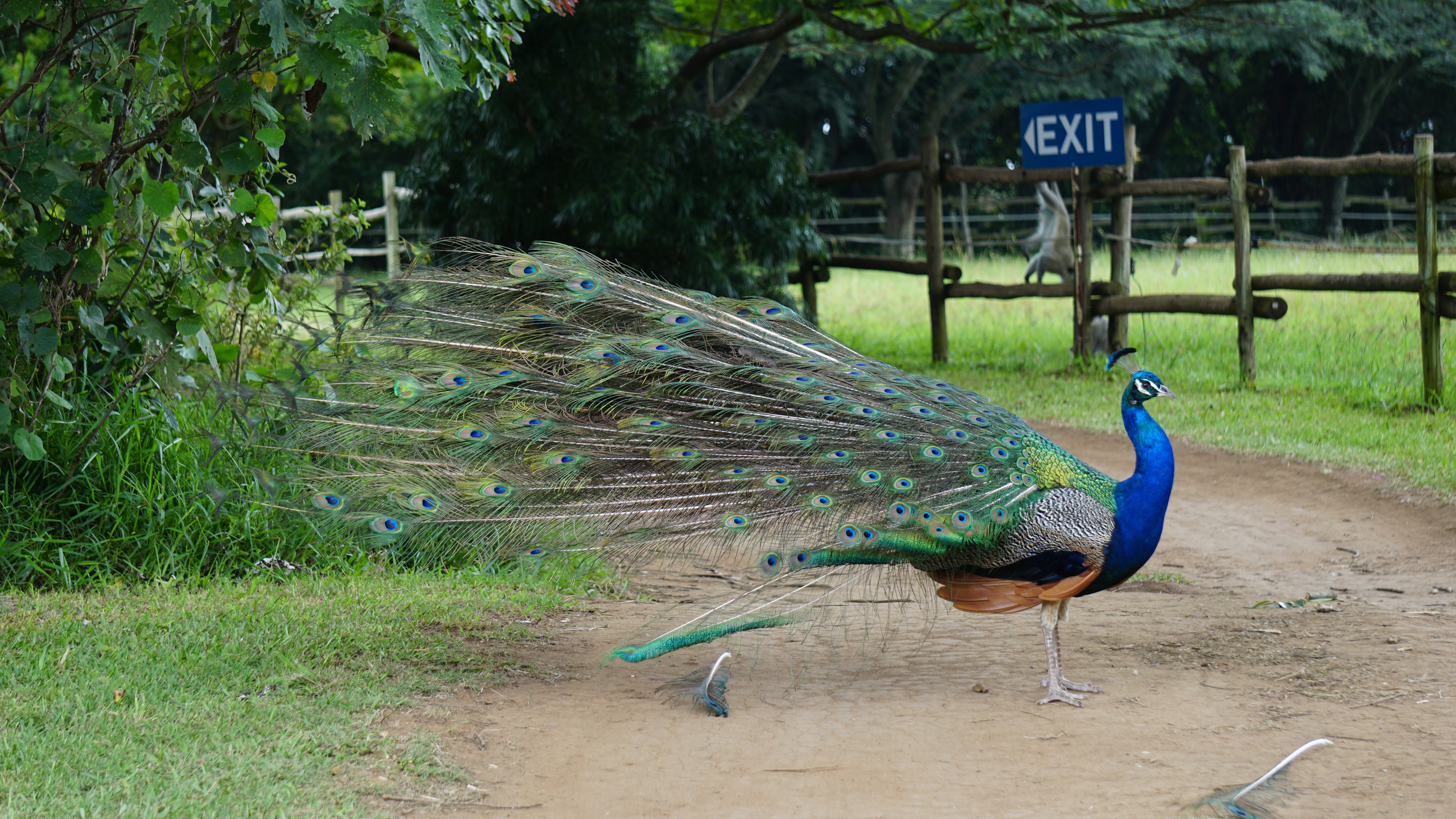 blue and green peacock on road