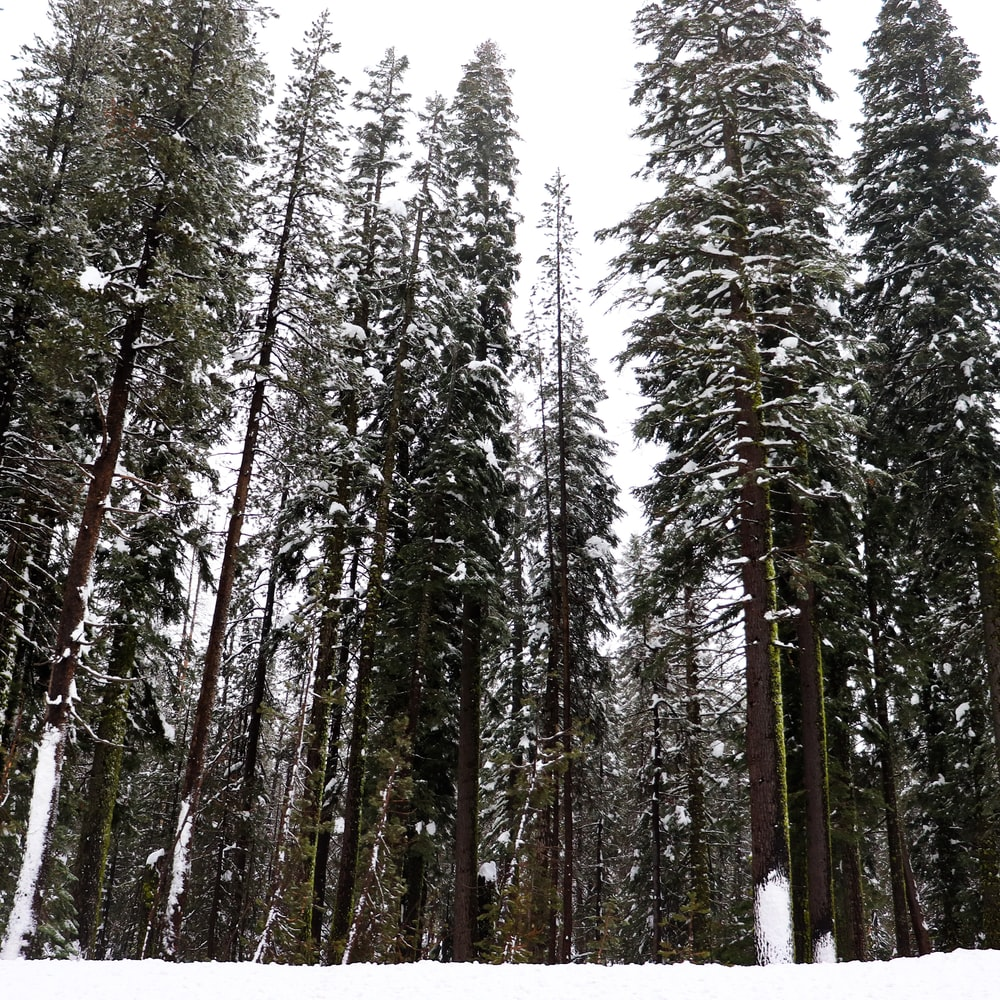 snow covered tall trees during daytime