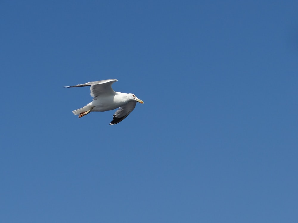 white and black bird flying under clear blue sky