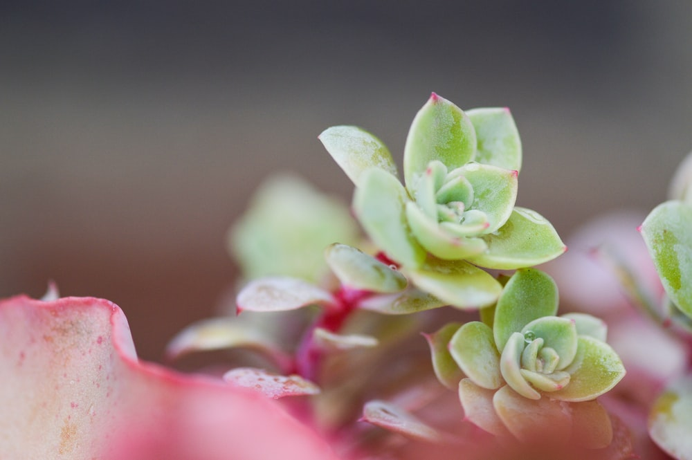 closeup photography of green Jade plant