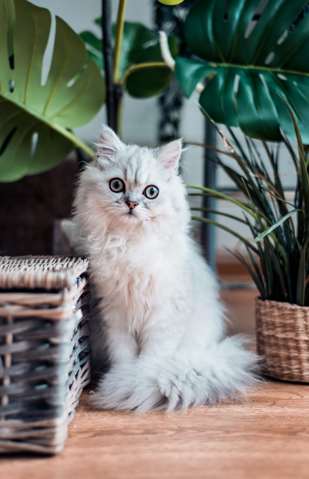 white coated Persian cat sitting on brown wooden surface