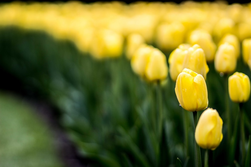 selective focus photography of yellow tulips field