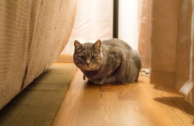 grey short fur large cat proning on brown parquet floor