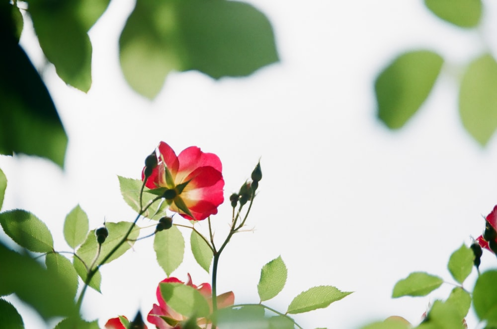 low-angle photography of red rose