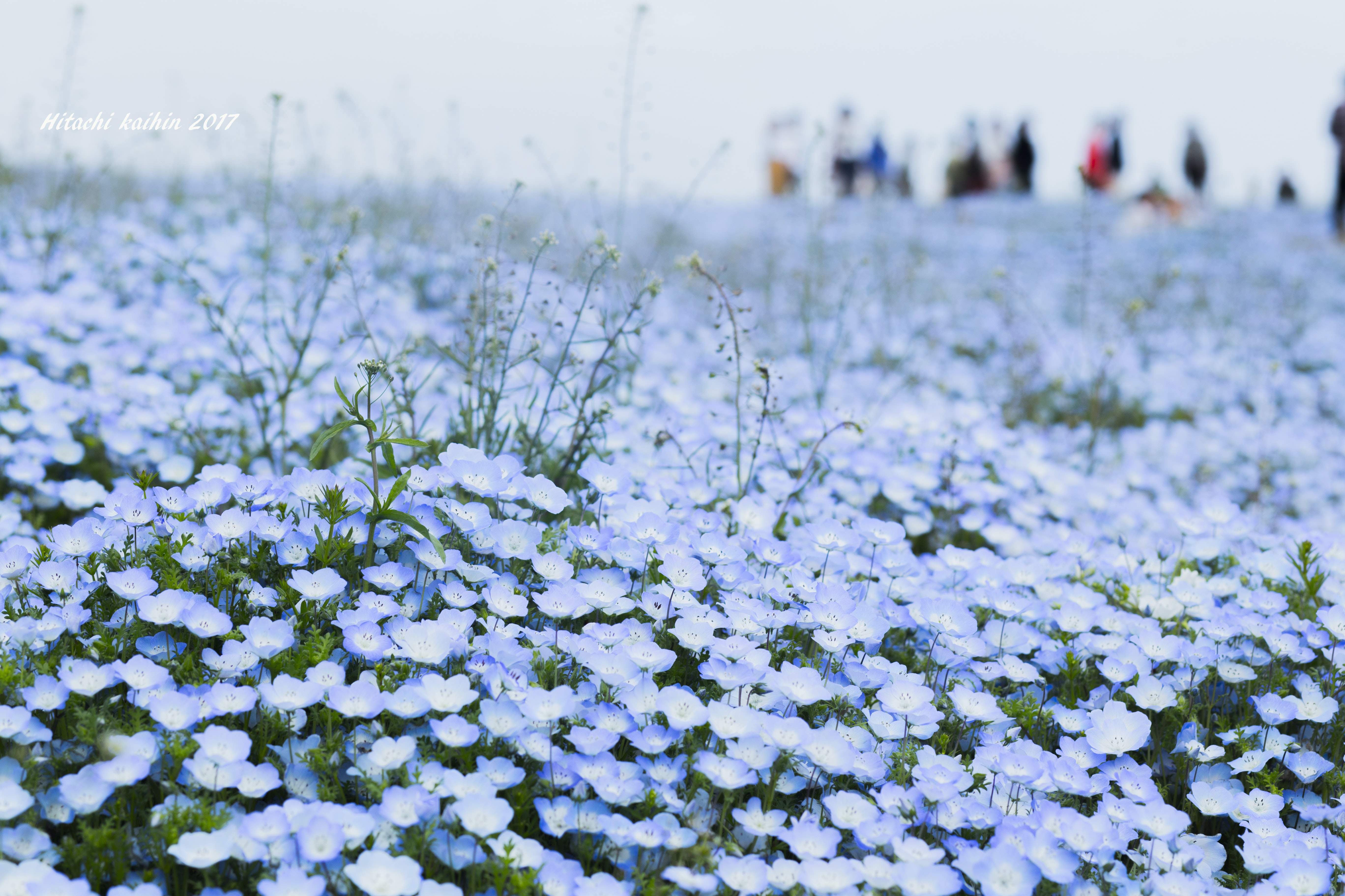 people standing near blue flower field in selective focus photography
