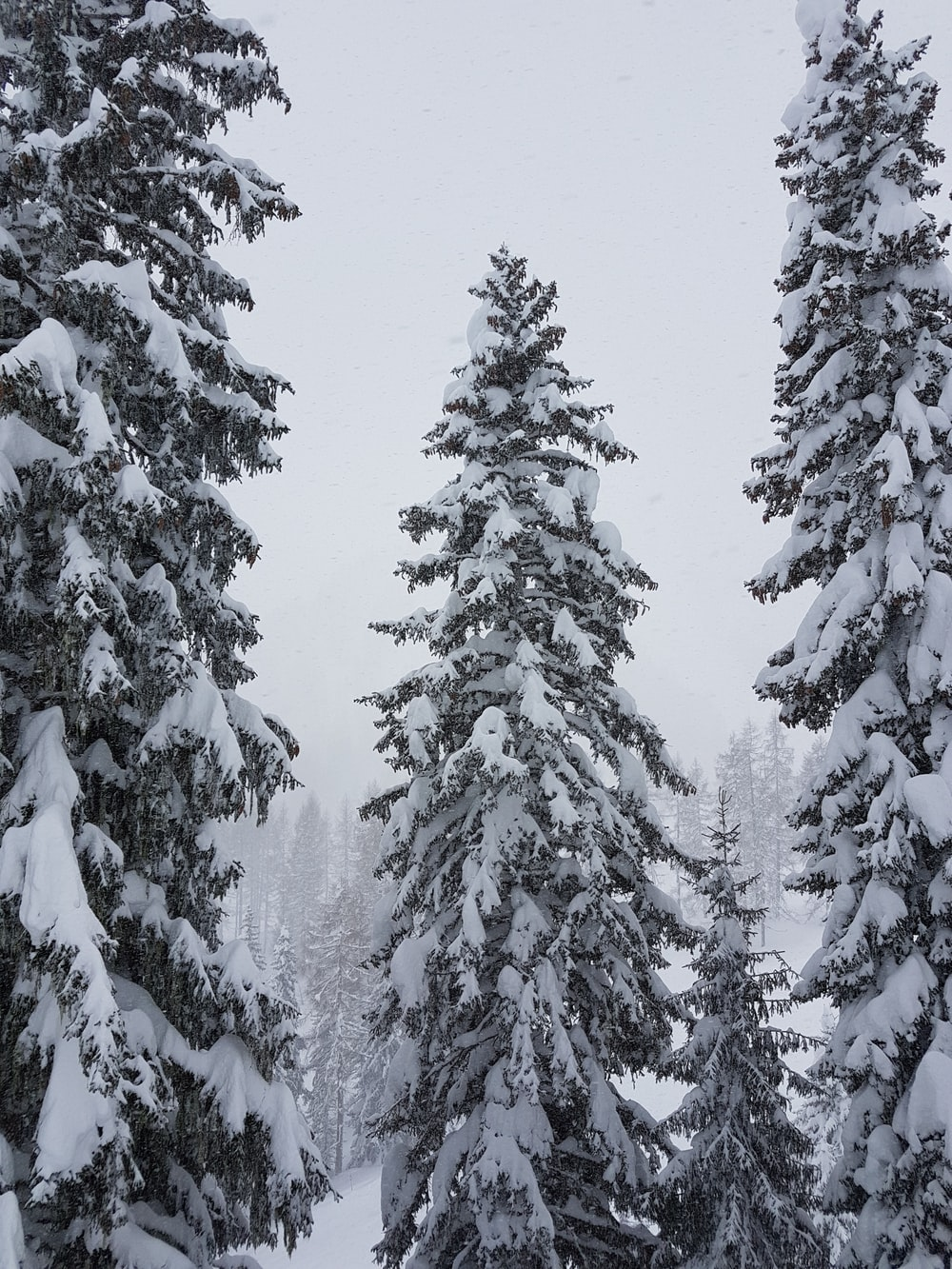 snow covered pine trees on snow field